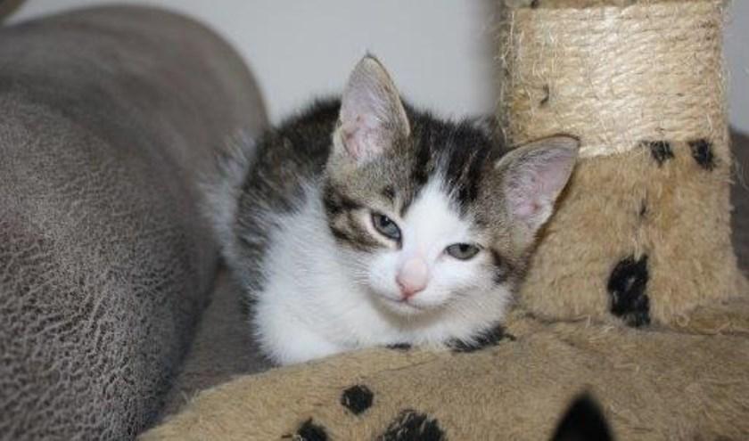 Elke week zet Dierenopvangtehuis De Bommelerwaard een dier in het zonnetje. Deze week is dat kitten Amalia. Kijk voor meer informatie op www.dierenasiel-bommelerwaard.nl.