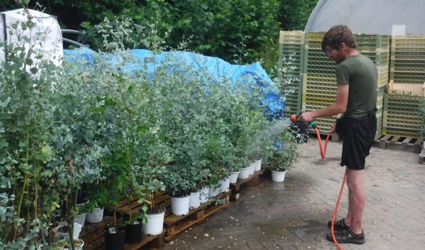 Vrijwilliger Ralph heeft zich het lot van de dorstige eucalyptussen aangetrokken. (foto: BuitenZinnig)