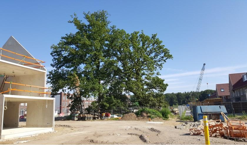 De twee monumentale bomen op het Enkaterrein.