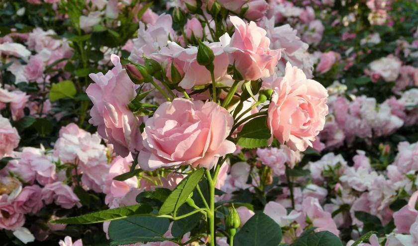 De rozen staan overal weer prachtig in bloei.
