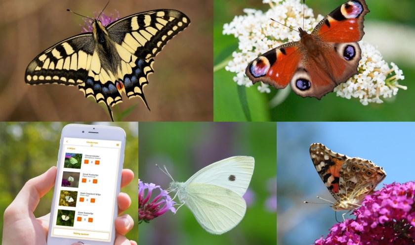 Met de klok mee: de koninginnenpage, dagpauwoog, distelvlinder, koolwitje en de app waarmee de vlinders geteld kunnen worden.