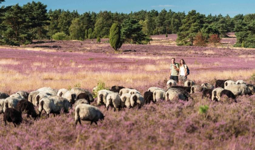 De Lüneburger Heide is heel veelzijdig. Zo kom je her en der nog flinke aantallen schapen tegen. Foto: Lüneburger Heide GmbH, Dominik Ketz