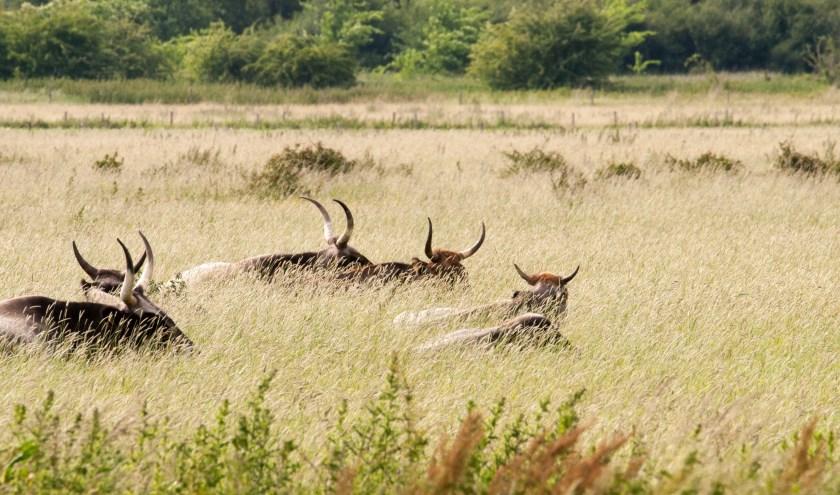 Taurossen in de uiterwaarden van de Oude Maasbocht Keent. De wandeling van Brabants Landschap op zondag 14 juli gaat ook naar deze kolossen op zoek.