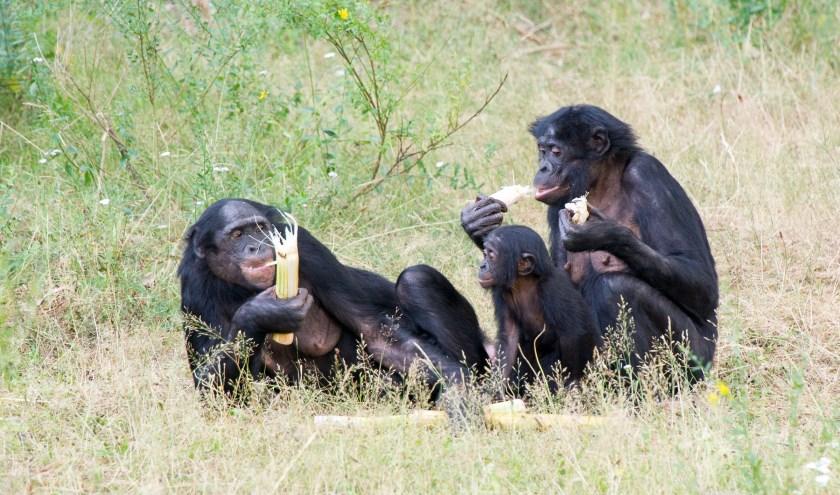 Bijgaand een foto en video van de bonobo's die getrakteerd worden op suikerriet.