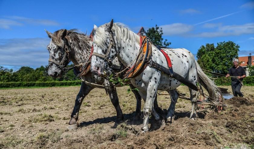 Indrukwekkend mooi om te zien: ploegpaarden aan het werk! FOTO: Staatsbosbeheer.