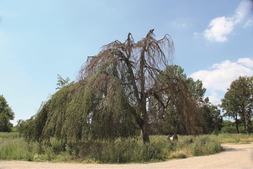 Op de plaats van de Treurbeuk wordt een nieuwe boom van enige omvang terug geplant. Gedacht wordt aan een walnoot.