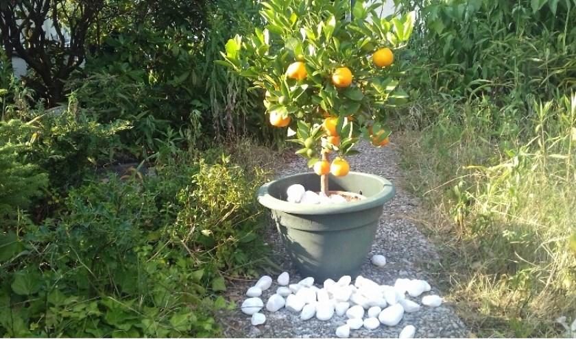 Sinaasappelstruik