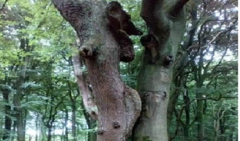 Verliefde bomen in het Speulderbos