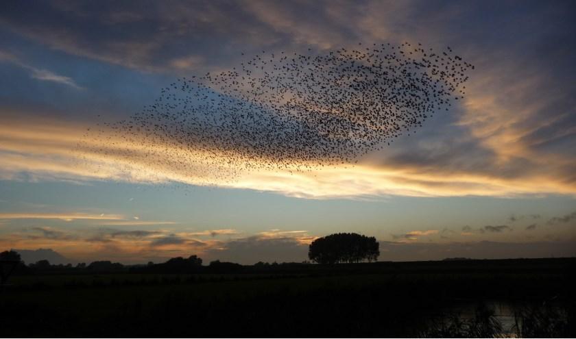 Spreeuwenzwerm boven de Heerewaardense Afsluitdijk. (Foto: Tilly Kuus-Liefkens)