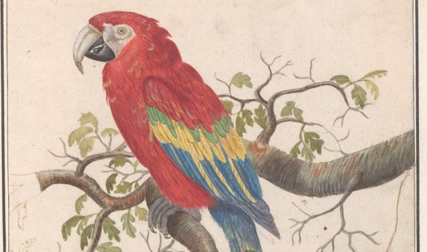 """In 1594 mag de geteisterde Zutphense bevolking zich vergapen aan een """"voogell uuith Brasilien"""". Misschien was het wel deze geelvleugelara (Ara macao) in een album met tekeningen van vogels, gemaakt rond 1600. (Particuliere collectie, bruikleen Rijksmuseum)"""