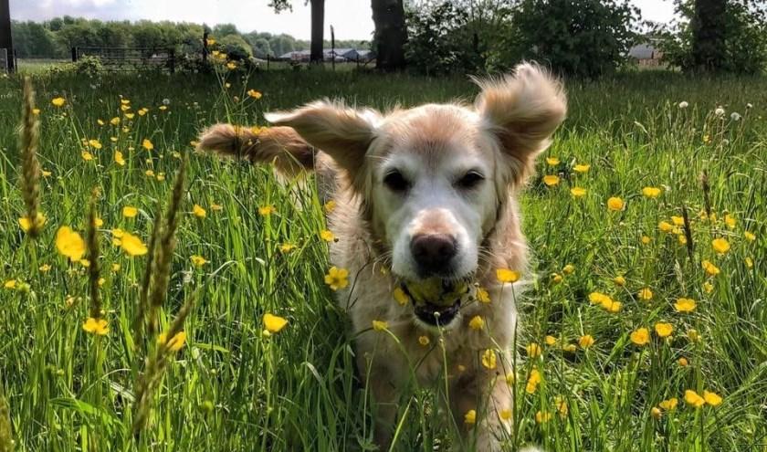 'Een hele blije hond in een weiland aan de Zandberg in Kaatsheuvel'. Ingezonden door Astrid Rijken.
