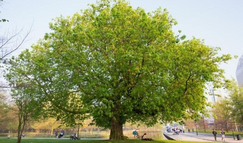 Verleden jaar was de kastanje op het Malieveld nog één van de genomineerde bomen.