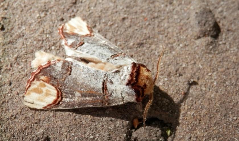 De wapendrager is een veelvoorkomende nachtvlinder die vliegt tussen eind april en begin augustus.