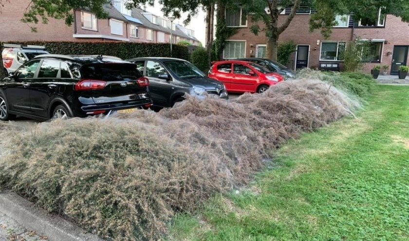 Het is niet nodig om spinselmotten te bestrijden. Kaalgegeten struiken herstellen vanzelf. Foto: Marcel Bosch