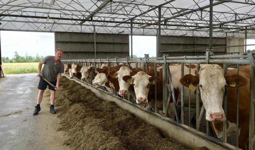 Boer Jan Hulshof bij zijn Fleckvieh koeien in de koeienserre.