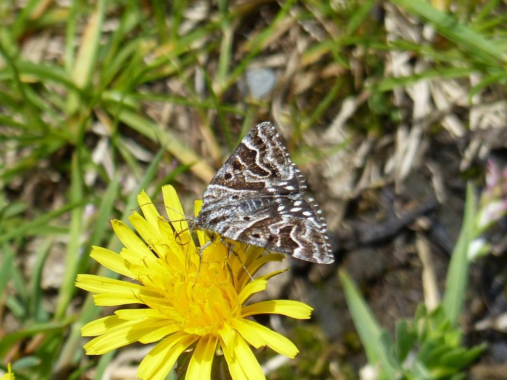 mi-vlinder Foto: Jan Kerseboom © DPG Media