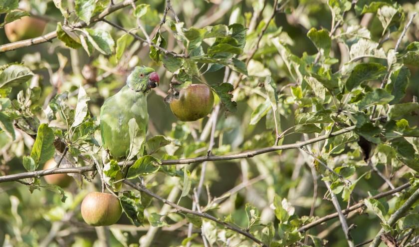 Halsbandparkiet snoept van appels aan de Dorpsstraat in Heinenoord. (Foto: Jan Pott)