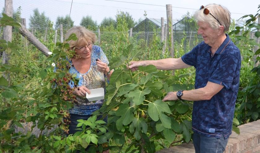 Marijke en Albert hadden vroeger zelf een moestuin. Nu maken ze graag gebruik van de variëteit in de tuin van de 'buren' Laurens en Pauline. Hier staan ze bij de bramen- en de vijgenstruik. FOTO: Ben Blom