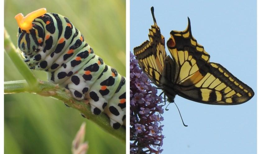 Een rups in juni op melkeppe langs de Berkenwoudse Boezem. Foto: Stef van Walsum; Een vlinder in juli in Berkenwoude. Foto: Jannie Monhemius