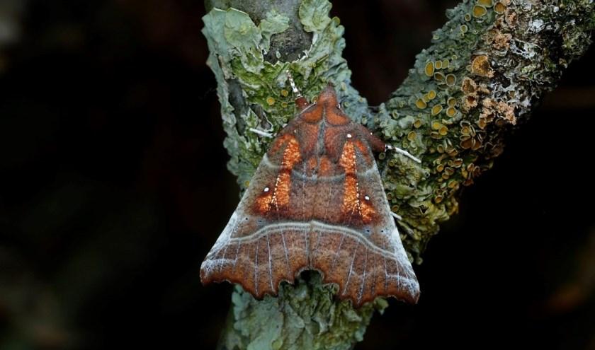 Roesje, een nachtvlinder
