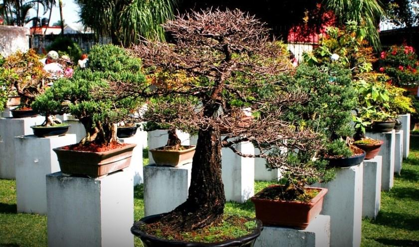 Expositie van bonsai bomen