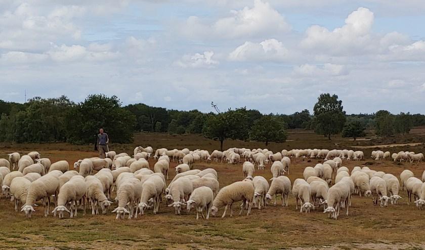 schapen op ermelose heide