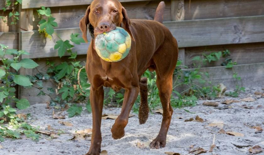 Knapperd Tobias is vanuit de thuissituatieniet gewend aan kinderen en heeft hij maar kort samen geleefd met een kat. Wel heeft hij altijd samengewoond met een andere hond(teef) zonder problemen.
