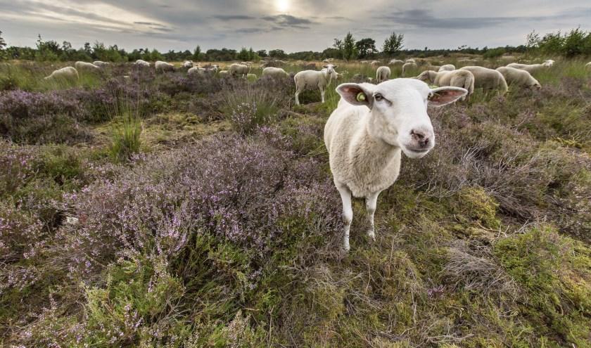 Ontmoet de herder en zijn kudde in de Loonse en Drunense duinen. Foto: Geurt Besselink
