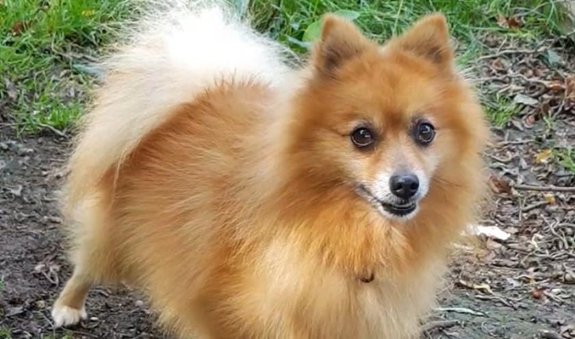Elke week zet Dierenopvangtehuis De Bommelerwaard een dier in het zonnetje. Deze week is dat Gino. Kijk voor meer informatie op www.dierenasiel-bommelerwaard.nl.