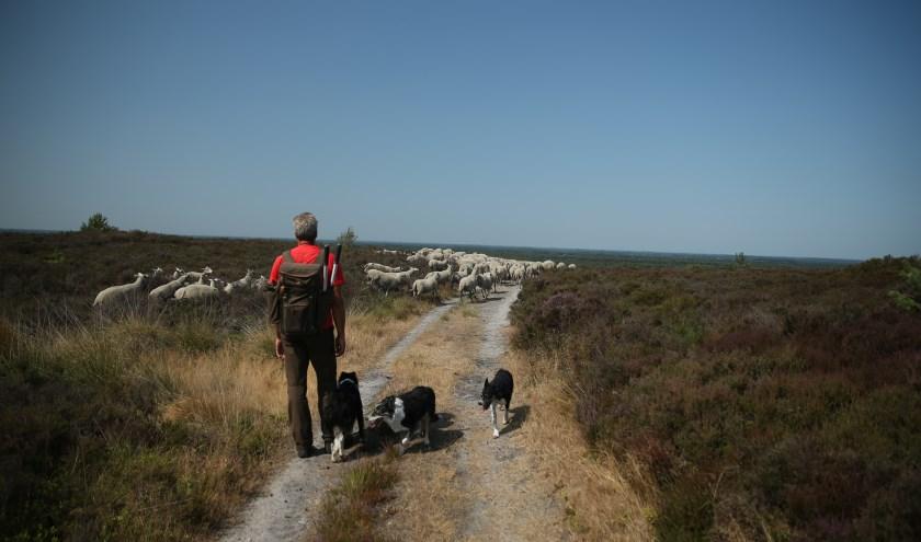 Een schaapskudde met herder en hond op de heide is een prachtig gezicht. Bovendien is het goed voor de natuur. (Foto: Tom Schoonhoff)