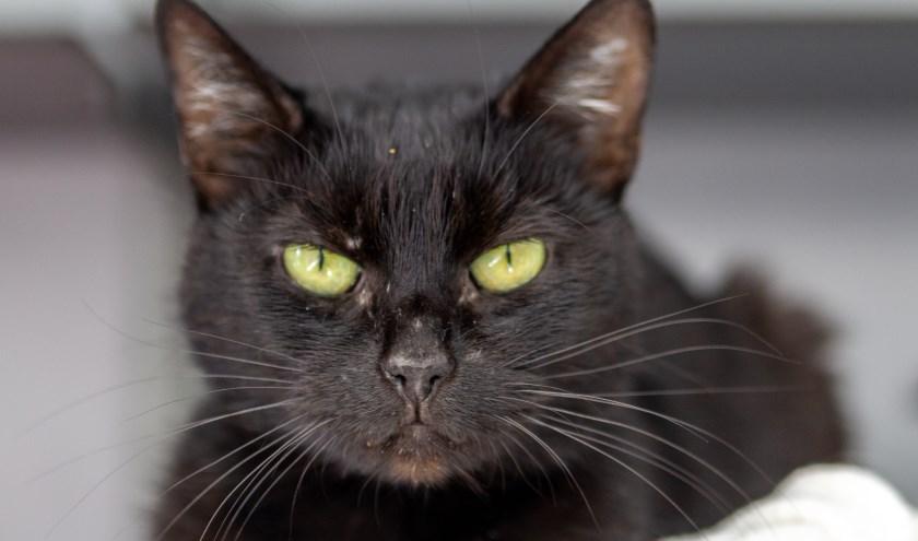 Noir is een prachtige kater van acht jaar en zoekt een gouden mand. Foto: Dierenbescherming.