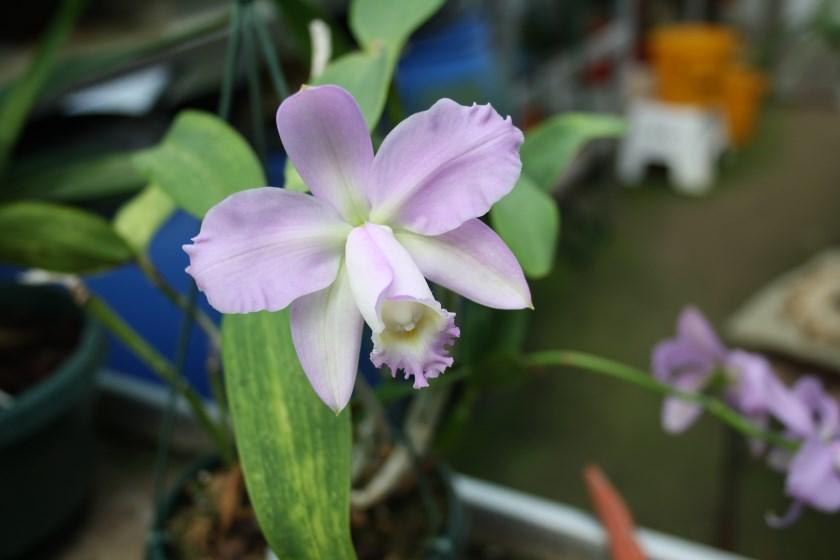 Cattleya harissoniae.