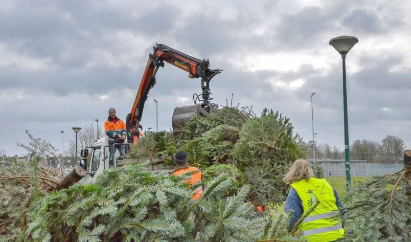 Alleen al achter de sporthal Hofland werden zaterdag 300 kerstbomen ingezameld en door de gemeente afgevoerd. (Foto: Paul van den Dungen)