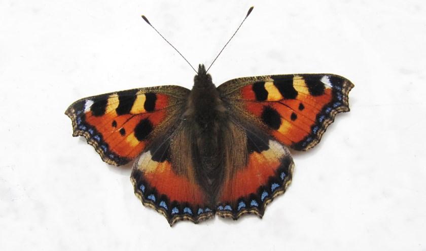 Bekende soorten die als vlinder de winter moeten zien te overleven, zijn Citroenvlinder, Dagpauwoog Kleine vos (foto) en Gehakkelde aurelia.