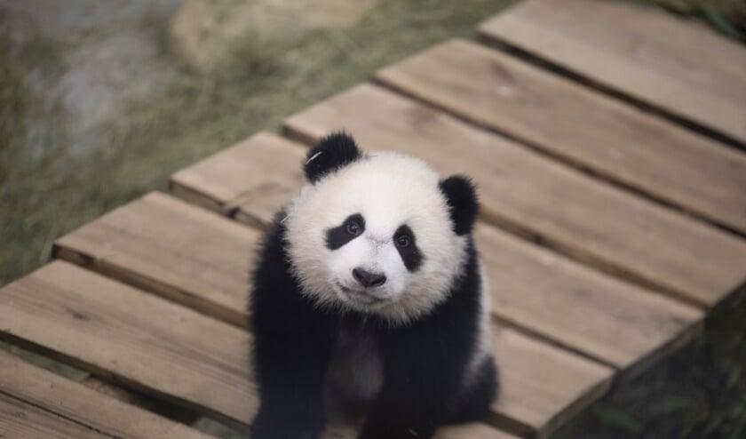 <p>Fan Xing in zijn binnenverblijf. (Foto&#39;s: Ouwehands Dierenpark)</p>