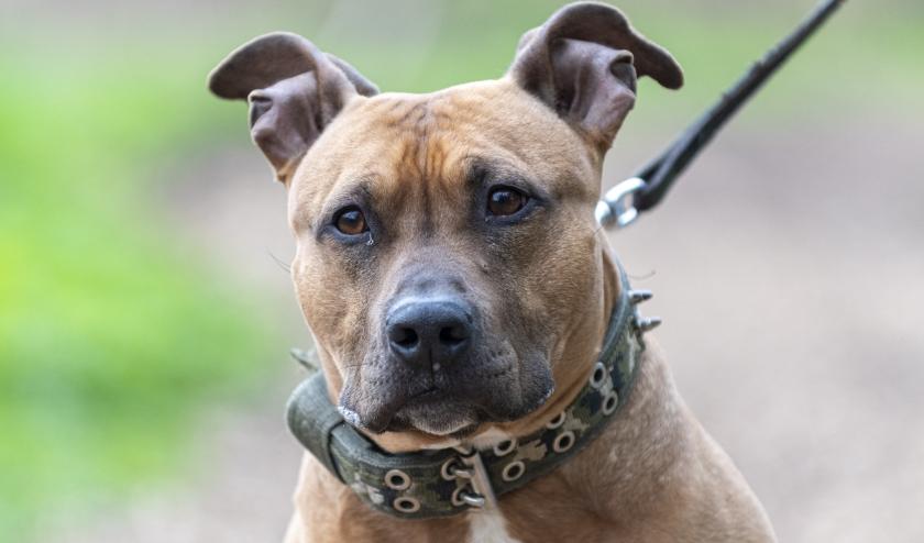 Chico is een lieve hond, die een 'duidelijke' baas zoekt.