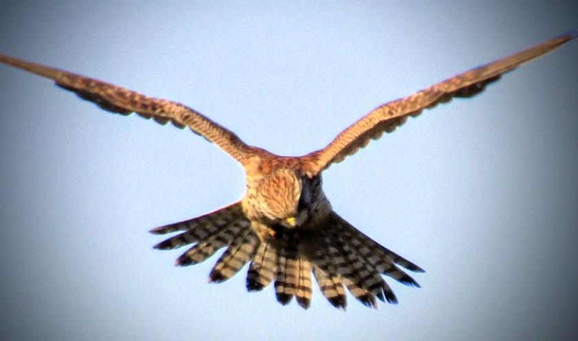 Roofvogel opzoek naar voedsel