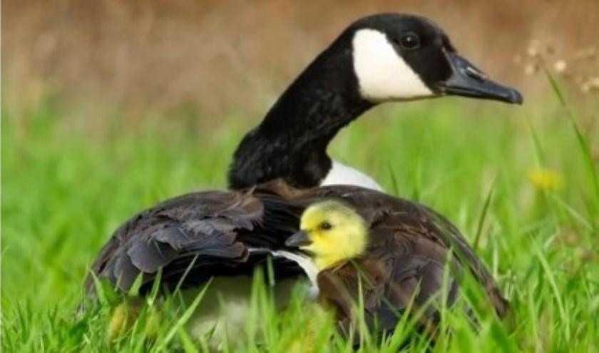 Het aantal ganzen in Rijswijk is de afgelopen twee jaar afgenomen.