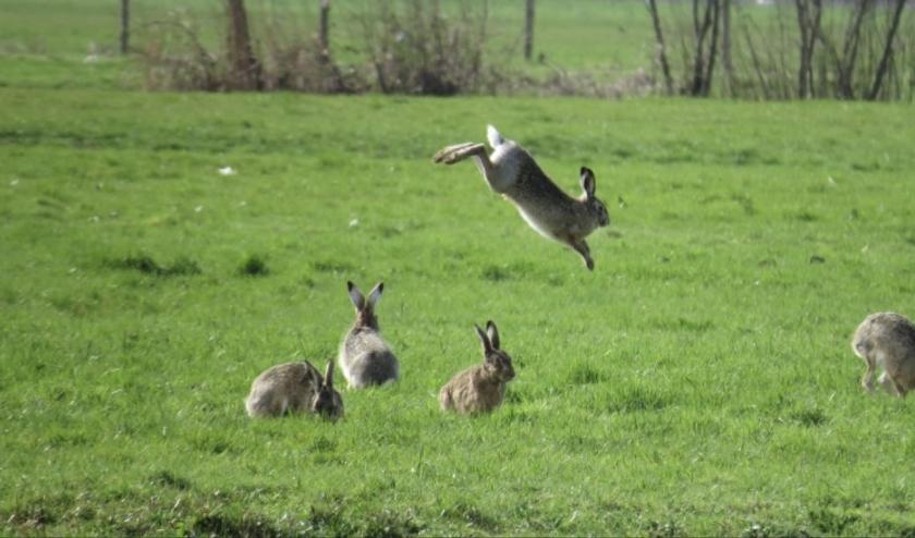Haas springt het voorjaar in