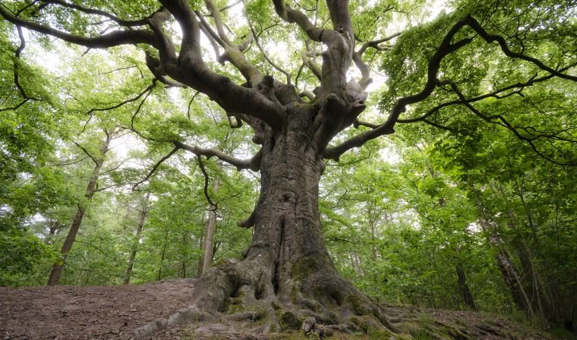 De Heksenboom gaat door in de Europese Tree of the Year Verkiezing. Foto: Rob Visser