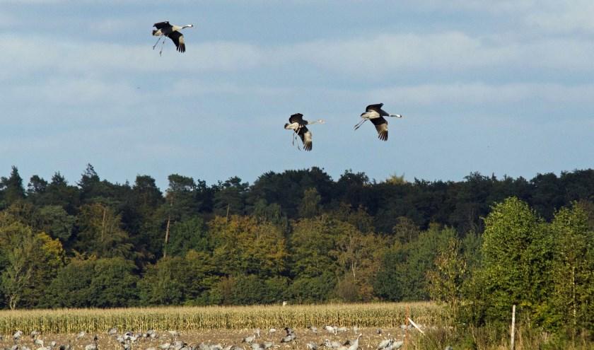 Kraanvogels landen op pas gemaaid maisveld. Foto Cor Huijgens