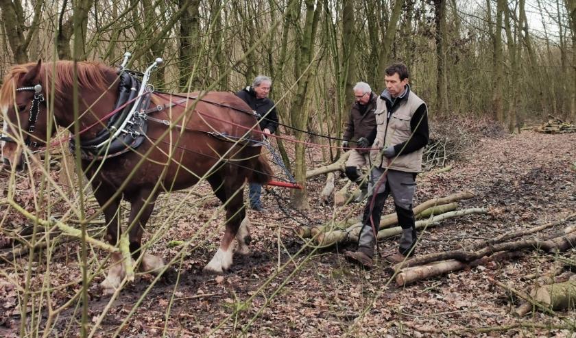 Paarden slepen boomstammen uit het bos