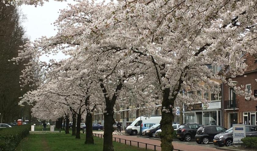 Aan de Jan Steenlaan, recht tegenover de winkelstrip, komen de bomen tot volle bloei. (Foto: Aart Aalbers)