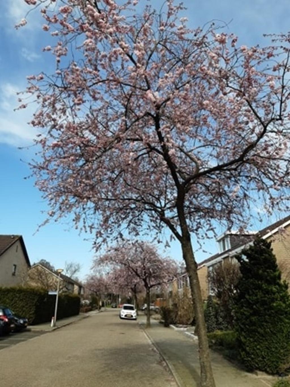 Voorjaarsbloesems in de Melissehof Wierden. Foto: Jacqueline van der Steele  © DPG Media