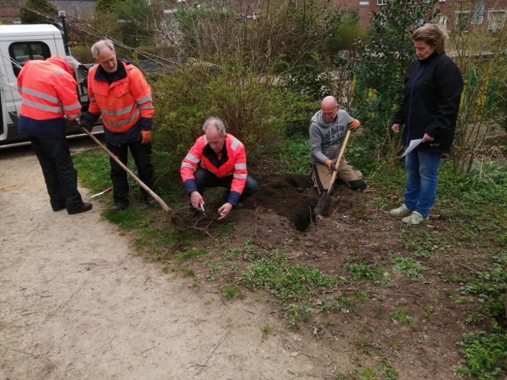 Vrijwilligers van de Plantweerd en medewerkers van Het Groenbedrijf bezig met het planten van de Zoete Kers Foto: Liesbeth Kappert © DPG Media