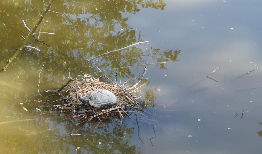 Schildpad op een meerkoetnest in het Hof van Delftpark. Foto: Annemarie Oorthuizen