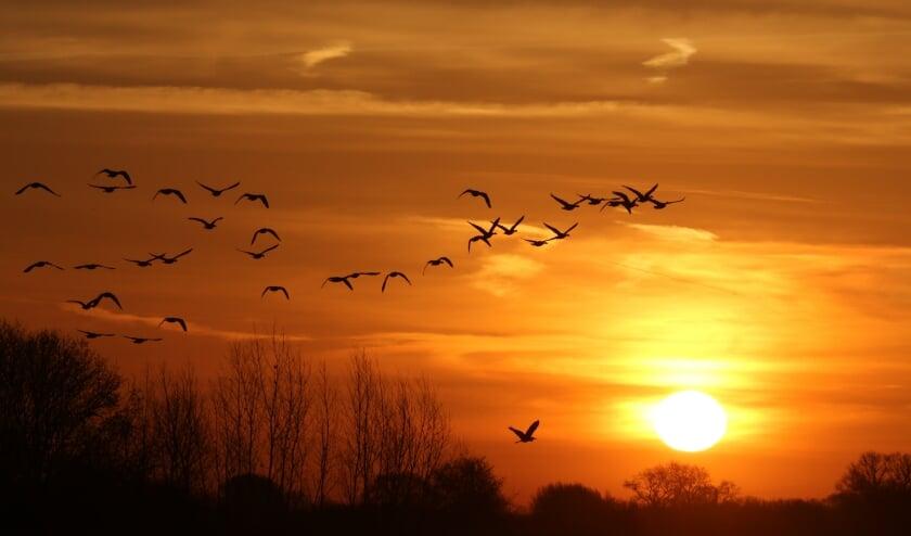 ganzen tijdens de opgaande zon