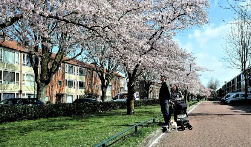 <p>Bloeiende bloesems zorgen elk jaar voor een fleurig beeld aan de Jan Steenlaan in Veenendaal-zuid.</p>