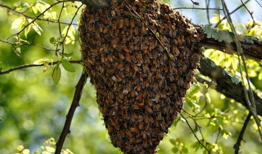 <p>In mei en juni komt het nogal eens voor dat er een bijenzwerm aan een tak van een boom of struik hangt.</p>
