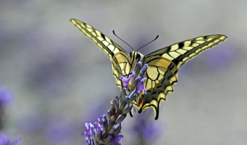 <p>Koninginnepage op lavendel</p>